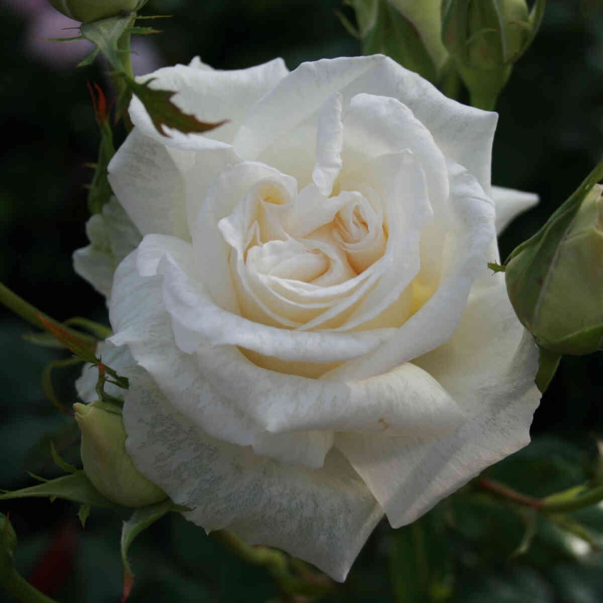 Rose 'Karen Blixen'