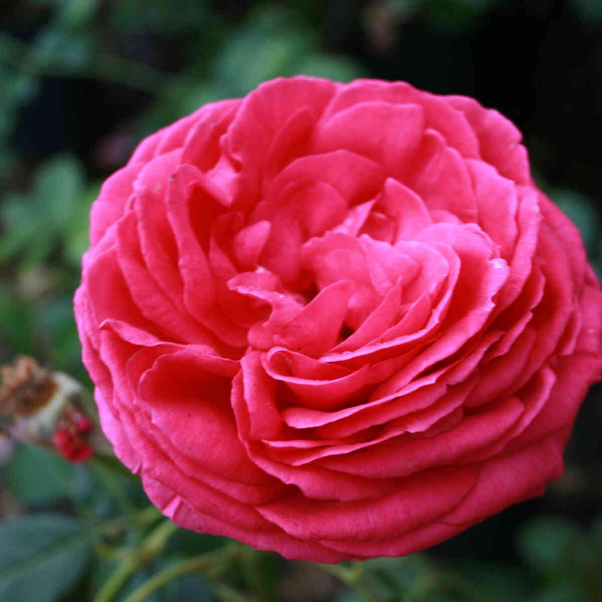 Slyngrose 'Pink Eden Rose'