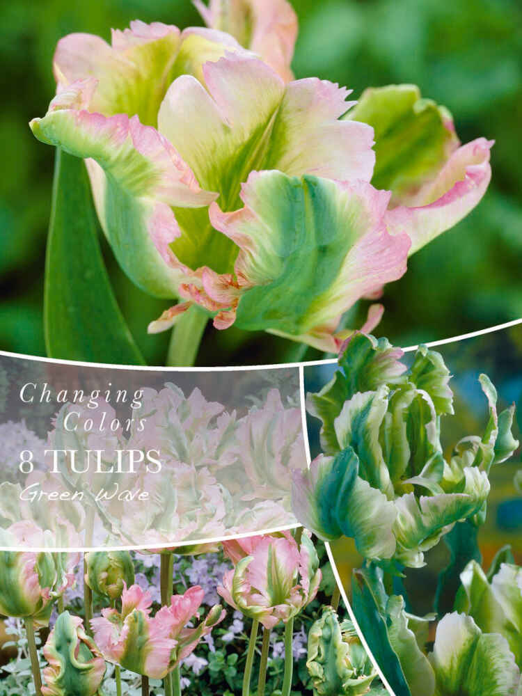 Tulipanløg - Tulipa Green Wave 12/+