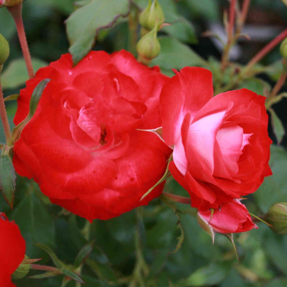 Rose 'Planten un Blomen'