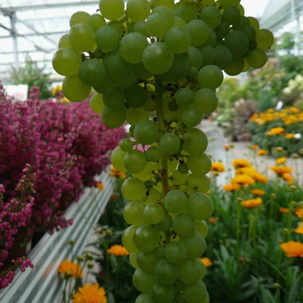 Vindrueplante - Vitis vinifera 'Lakemont Seedless'