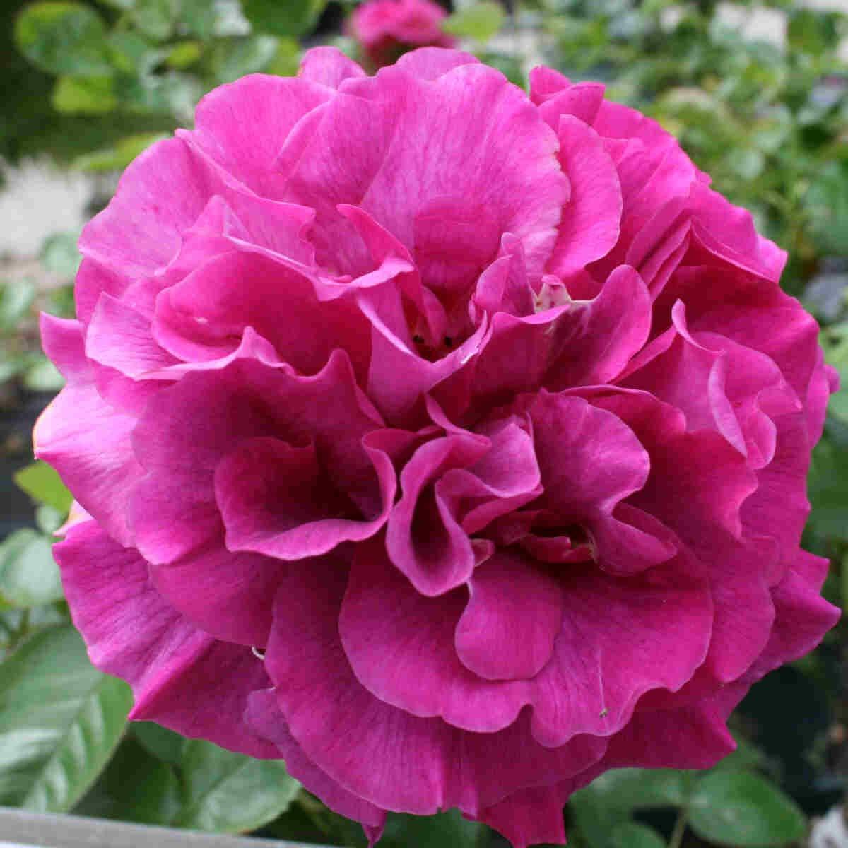 Rose 'Westpol'