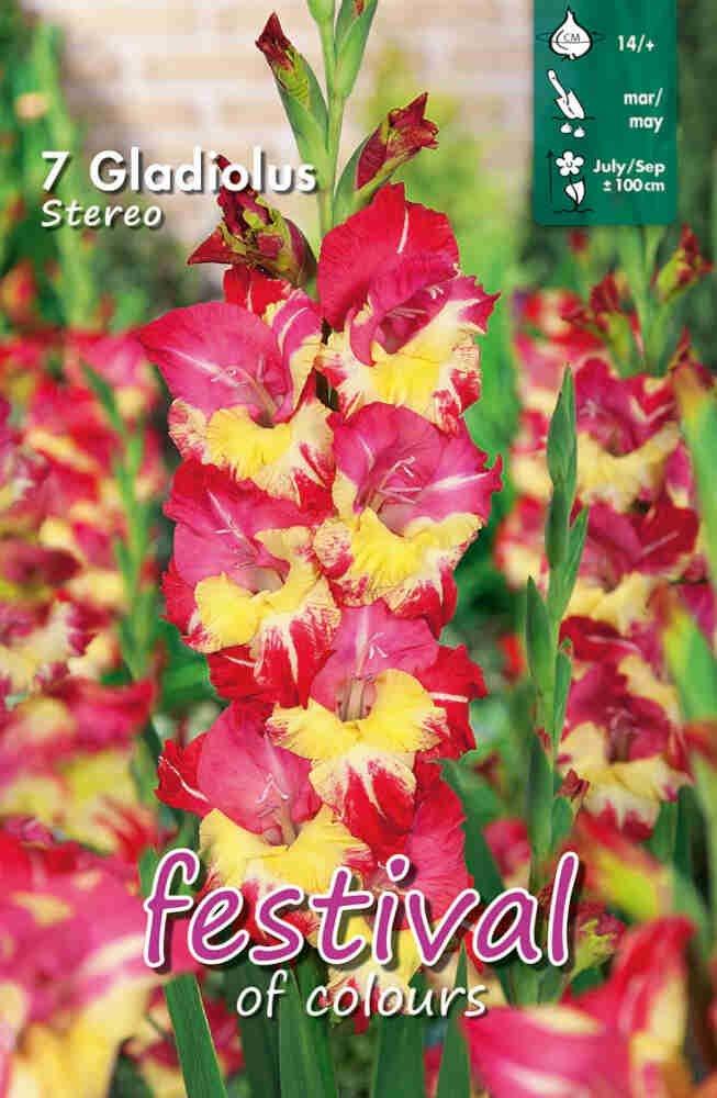 Gladiolus Stereo, large flowering, 7 stk