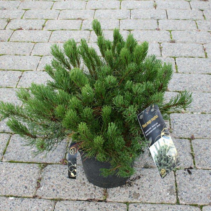Bjergfyr - Pinus mugo 'Mughus'