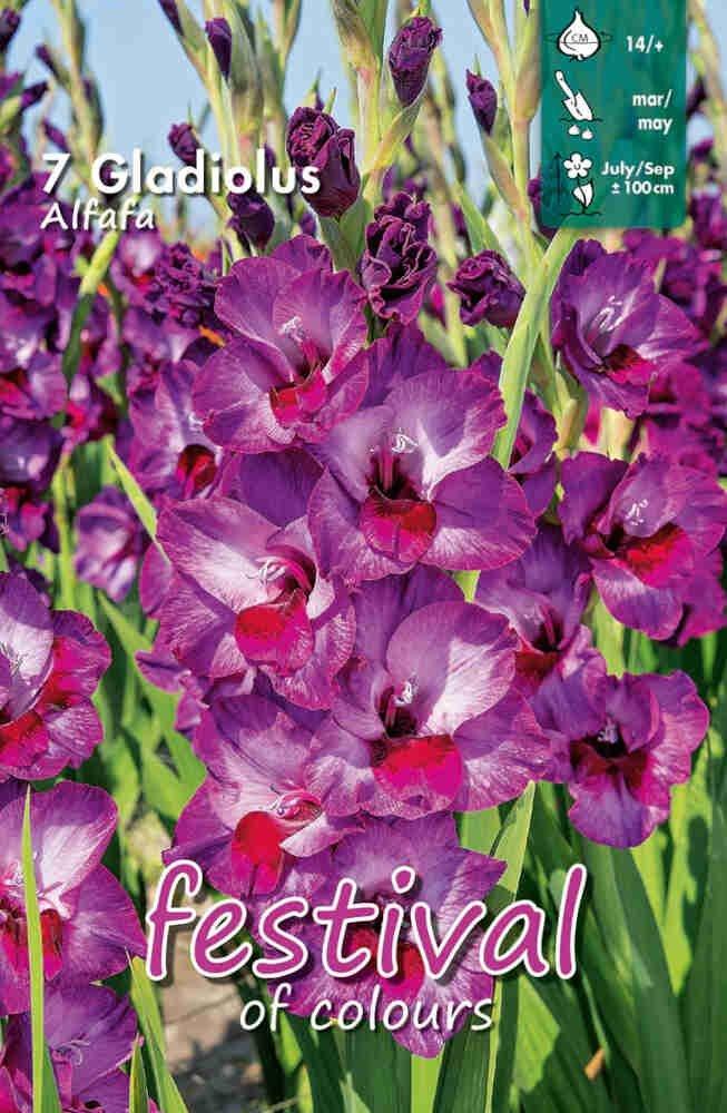 Gladiolus Alfafa, large flowering, 7 stk