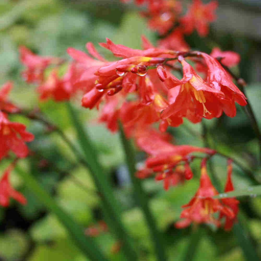 Montbretia - Crocosmia hybrid 'Red King'