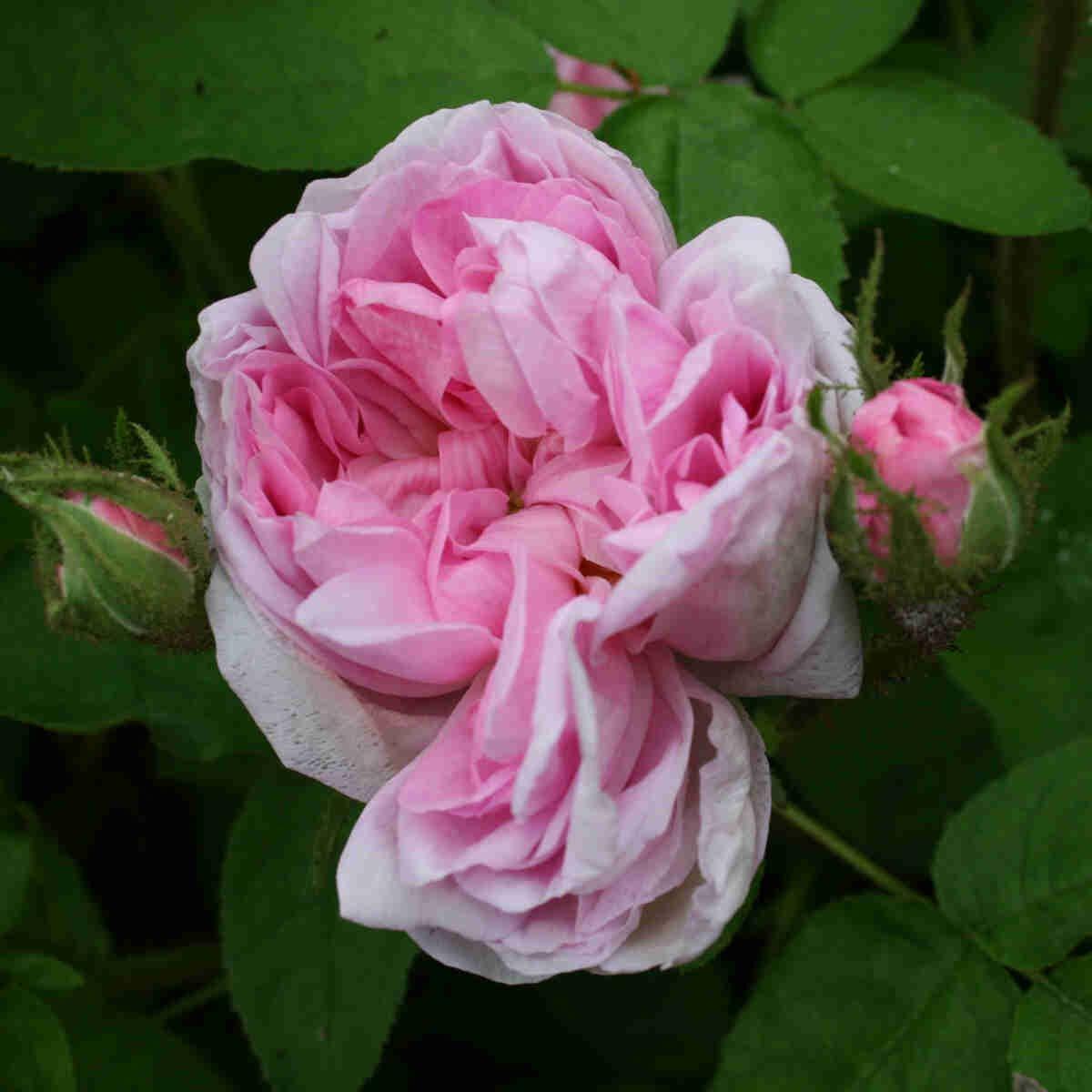 Mosrose - Rose 'Salet'