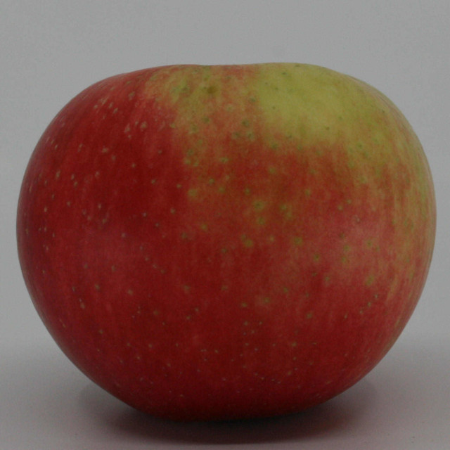 Æbletræ - Malus domestica 'Discovery'