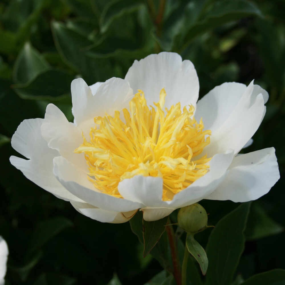 Silkepæon - Paeonia lactiflora 'Jan Van Leeuwen'
