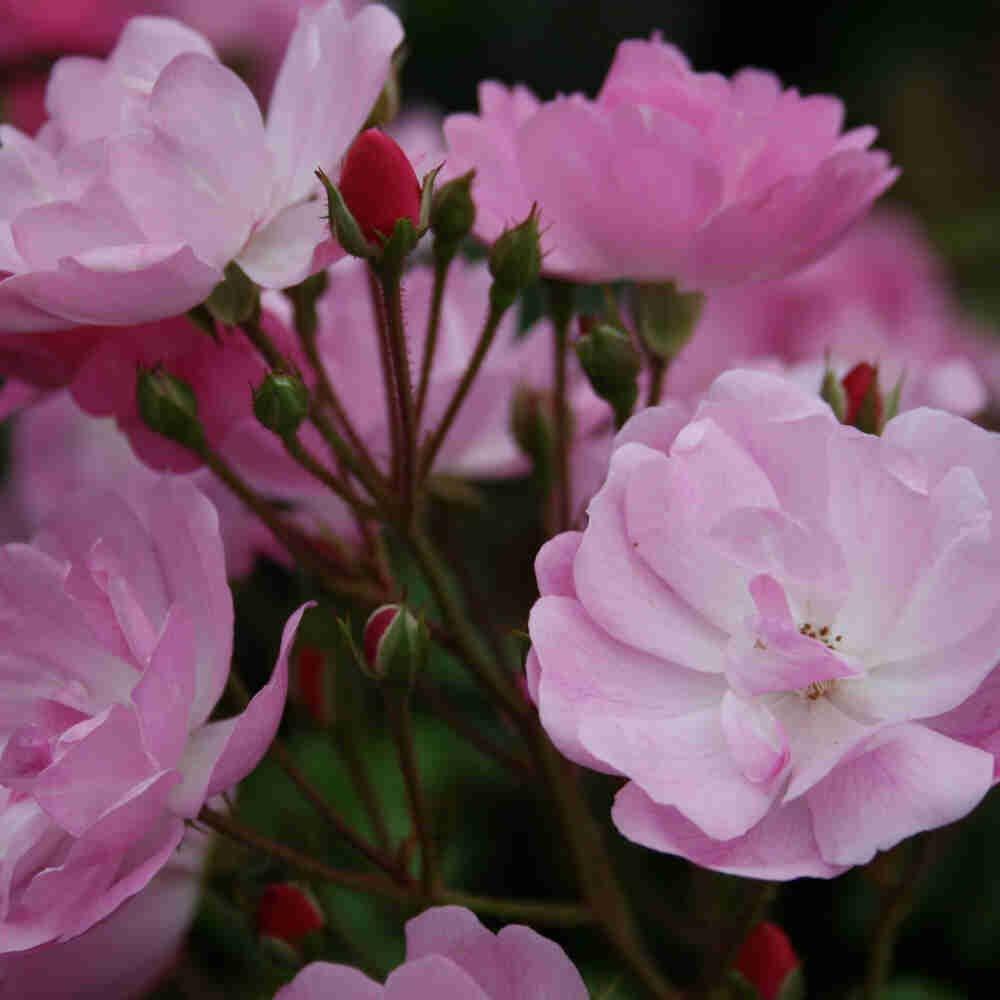 Bunddække Rose 'Lavender Cover'