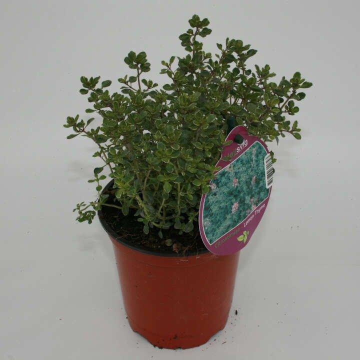 Citron timian hvid/grøn - Thymus citr. 'Silver Queen'- 10cm potte
