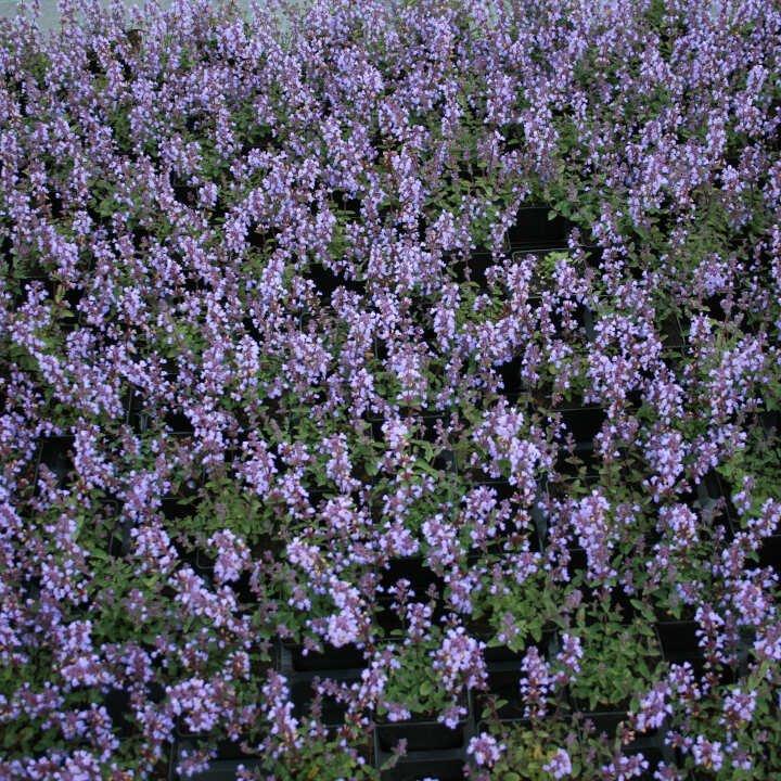 Katteurt - Nepeta faassenii 'Purrsian Blue'®