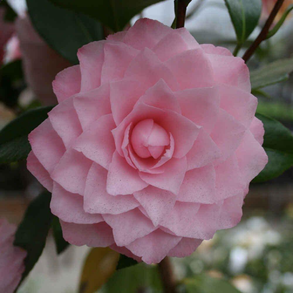 Kamelia - Camellia japonica 'Nuccios Pearl'