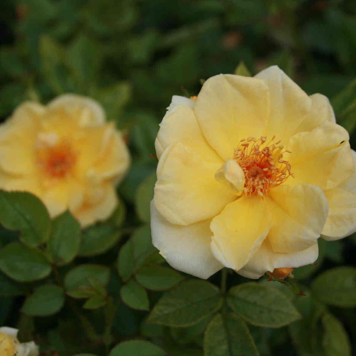 Rose 'Ardha'