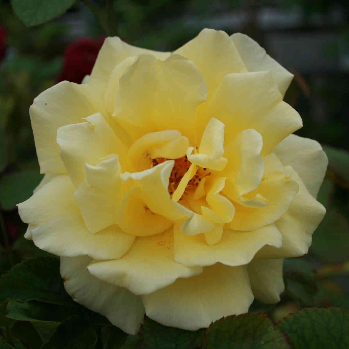 Slyngrose 'Goldstern'
