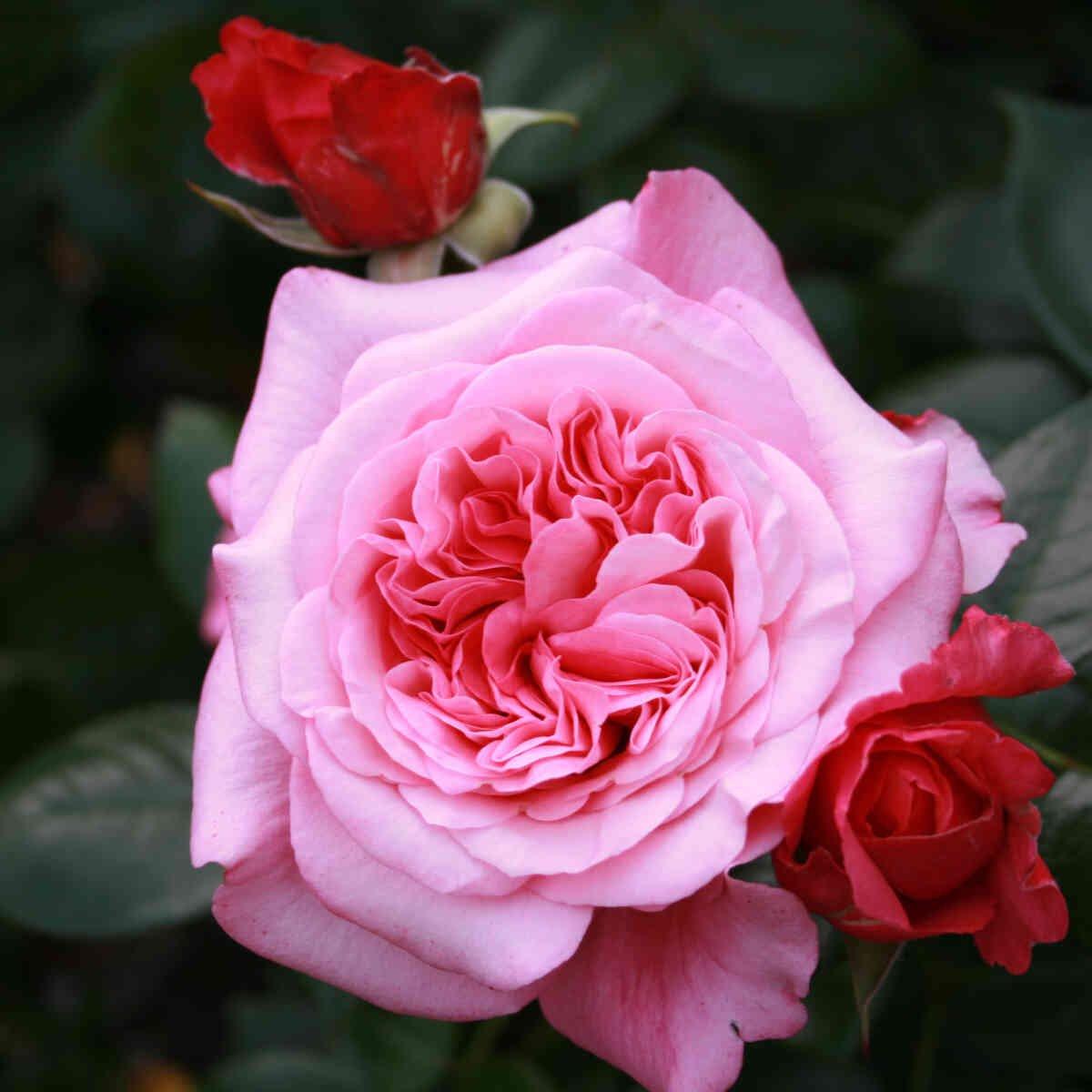 Stor lyserød blomst og røde knopper i Comeback rose