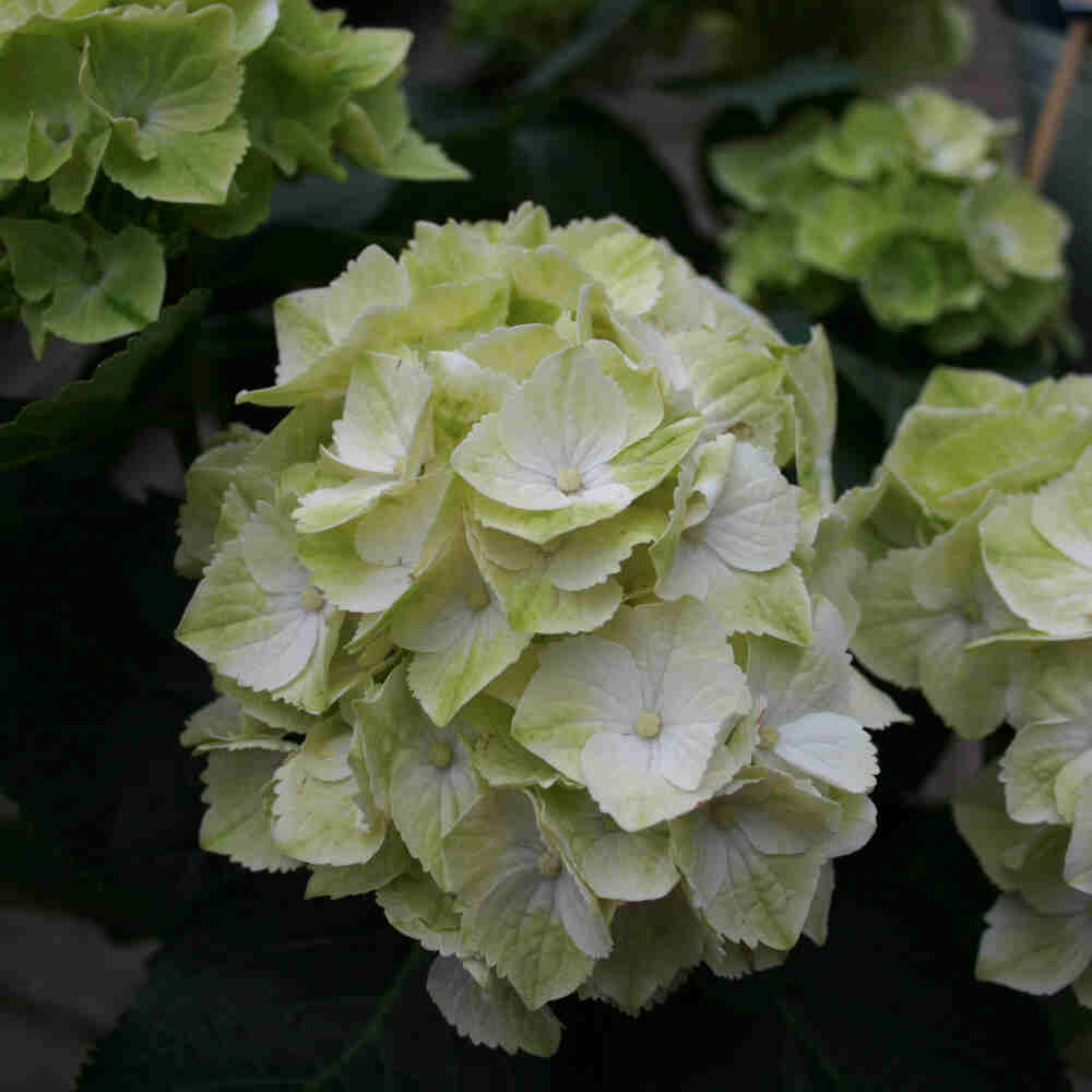 Hortensie - Hydrangea Magical Four Seasons 'Wings'