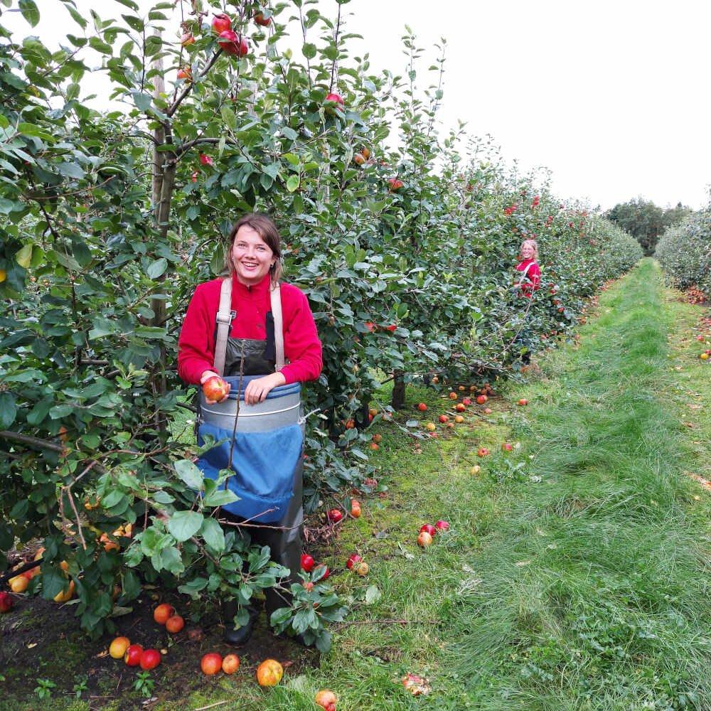 Æbleplukning i frugtplantagen ved Vesterhavsmost