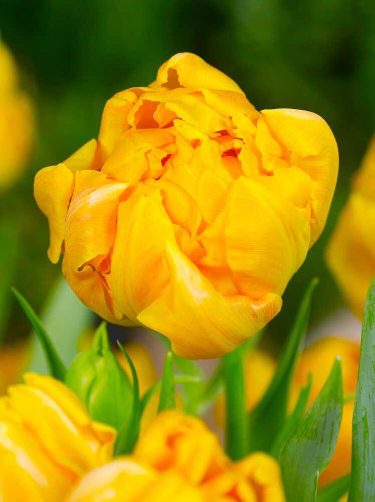 Tulipanløg - Tulipa 'Orca' (12/+) 10stk