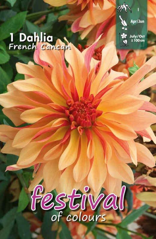 Dahlia French Cancan Decorative