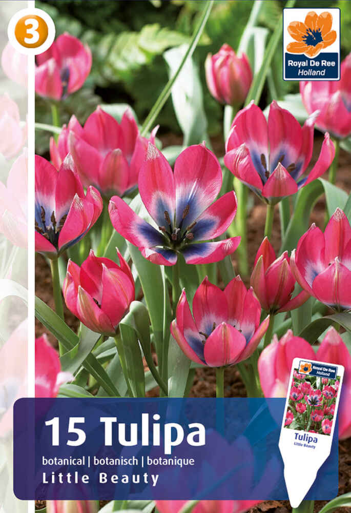 Tulipanløg - Tulipa Little Beauty 6/+