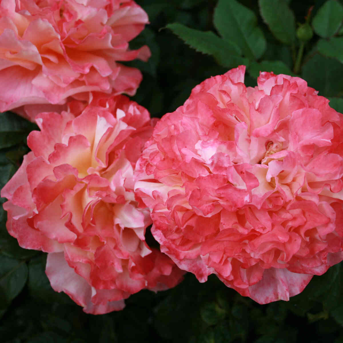 Blomster i Augusta Louise rosen
