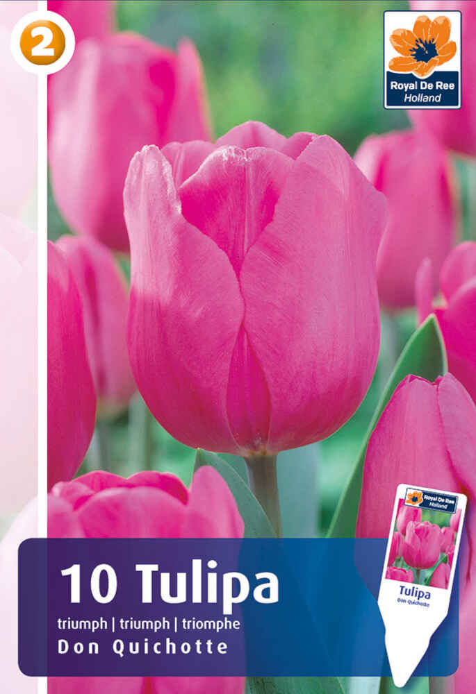 Tulipanløg - Tulipa Don Quichotte 11/12