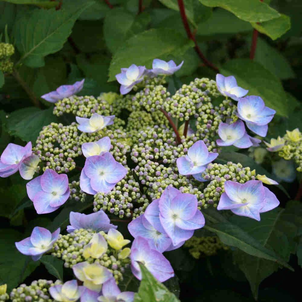 Hortensia - Hydrangea macrophylla 'Twist-n Shout' Blå