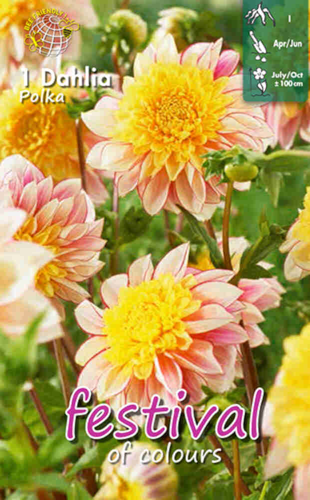 Dahlia Polka Anemone flowered