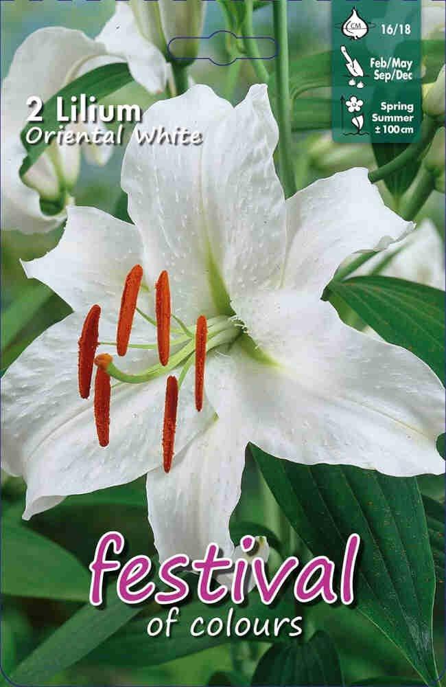 Orientalsk - Lilium Oriental White(x2)16/18
