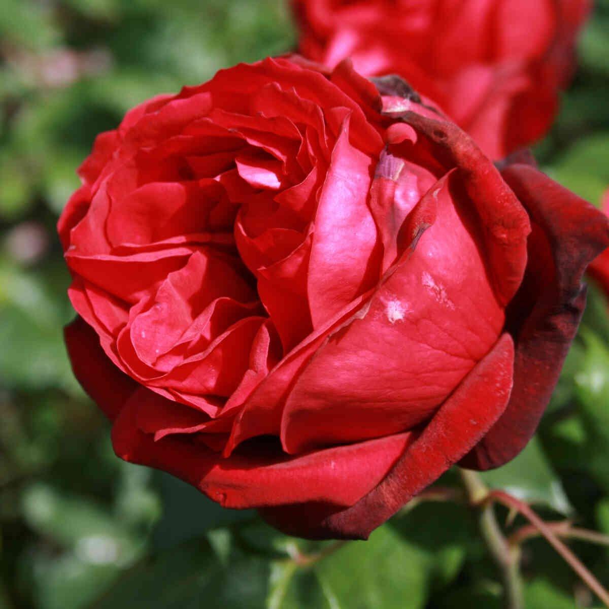 Mørkerød rosen blomst i Admiral rose