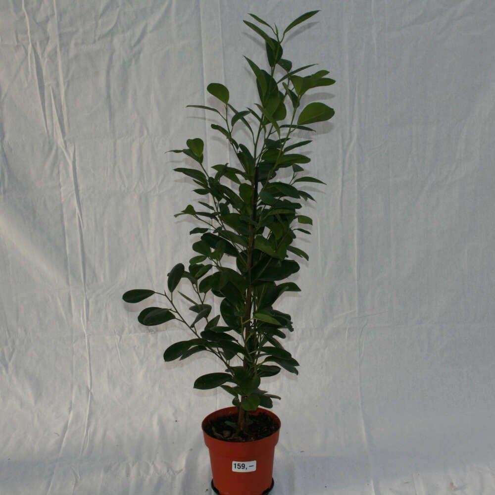 Kinesisk figen - Ficus microcarpa 'Moclame'