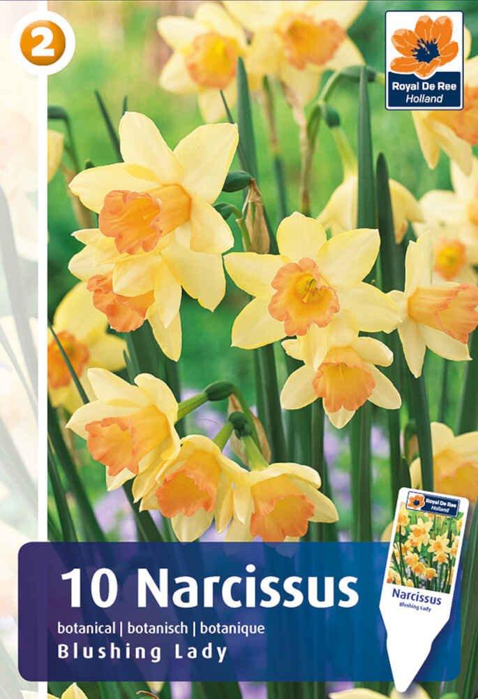 Påskelilje - Narcissus Blushing Lady 10/12