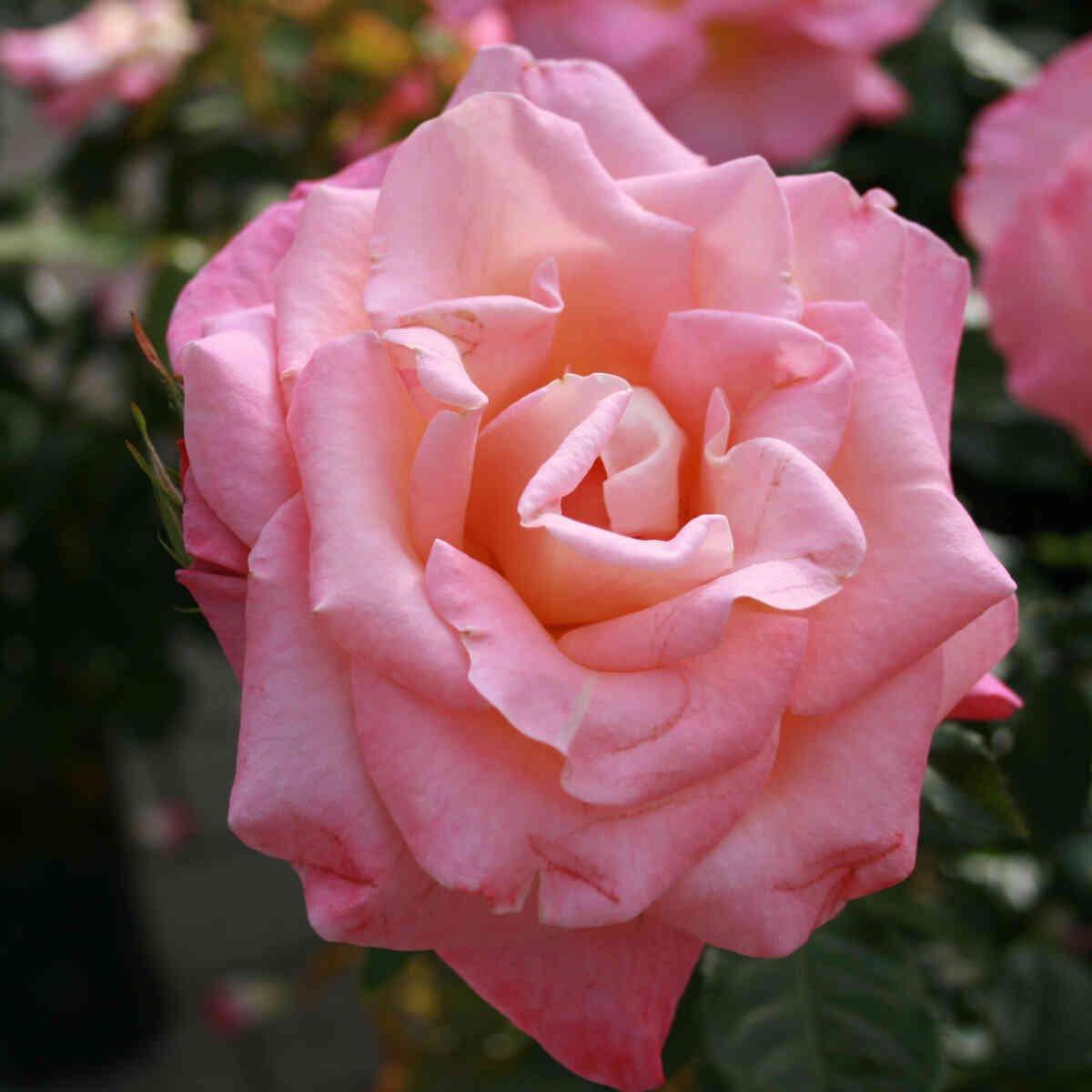 Rose 'Inspiration'