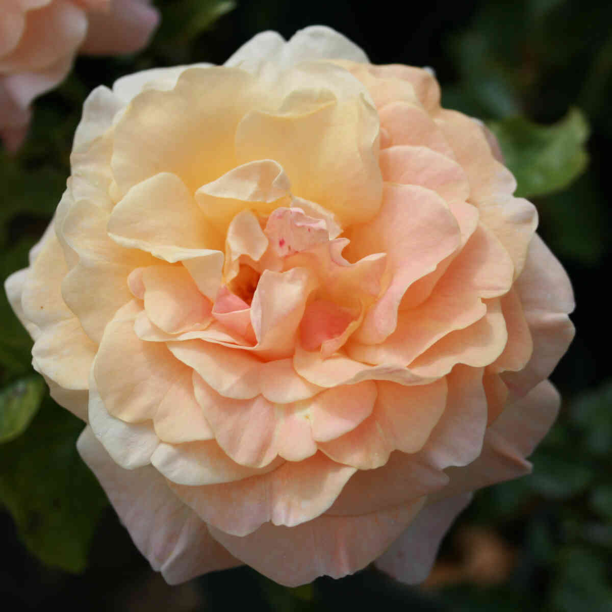 Rose 'Herman Hesse Rose'