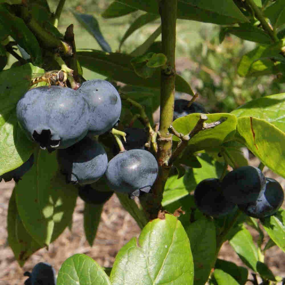 Blåbær - Vaccinium corymbosum 'Brigitta Blue' - 3L potte
