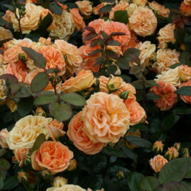 Rose 'Timeless'