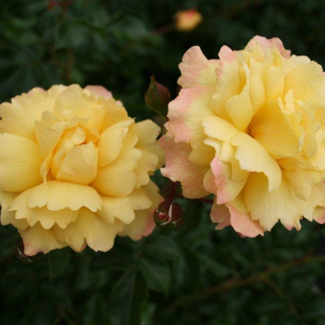Candela rose med flotte gule blomster
