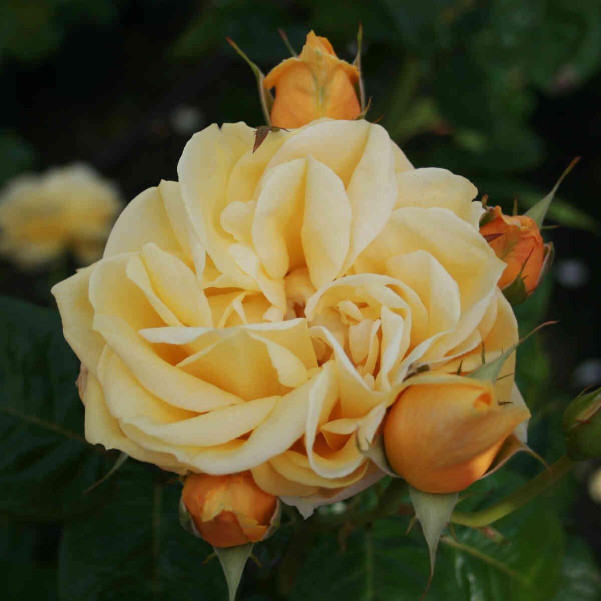 Rose 'Gracious Queen' (Michelangelo)