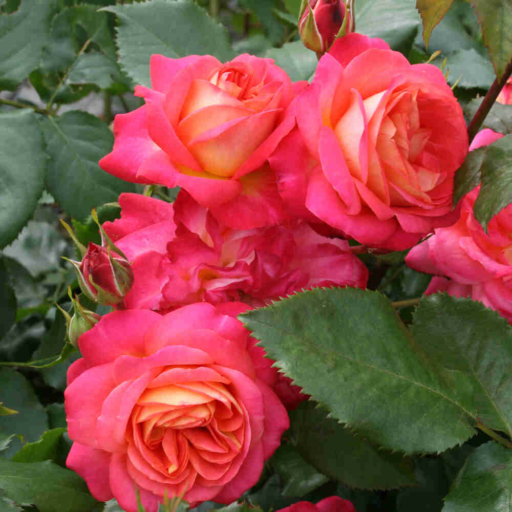 Rose 'Midsummer'