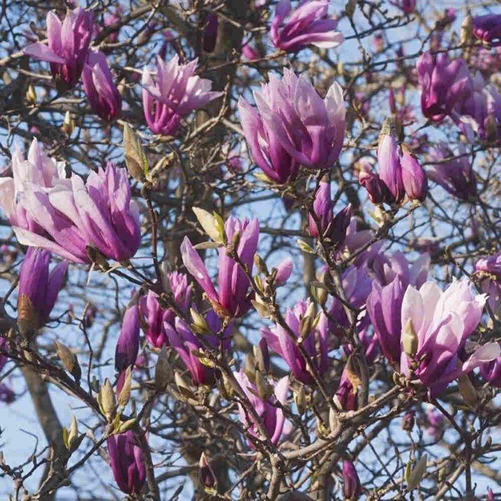 Magnolie - Magnolia 'Betty'