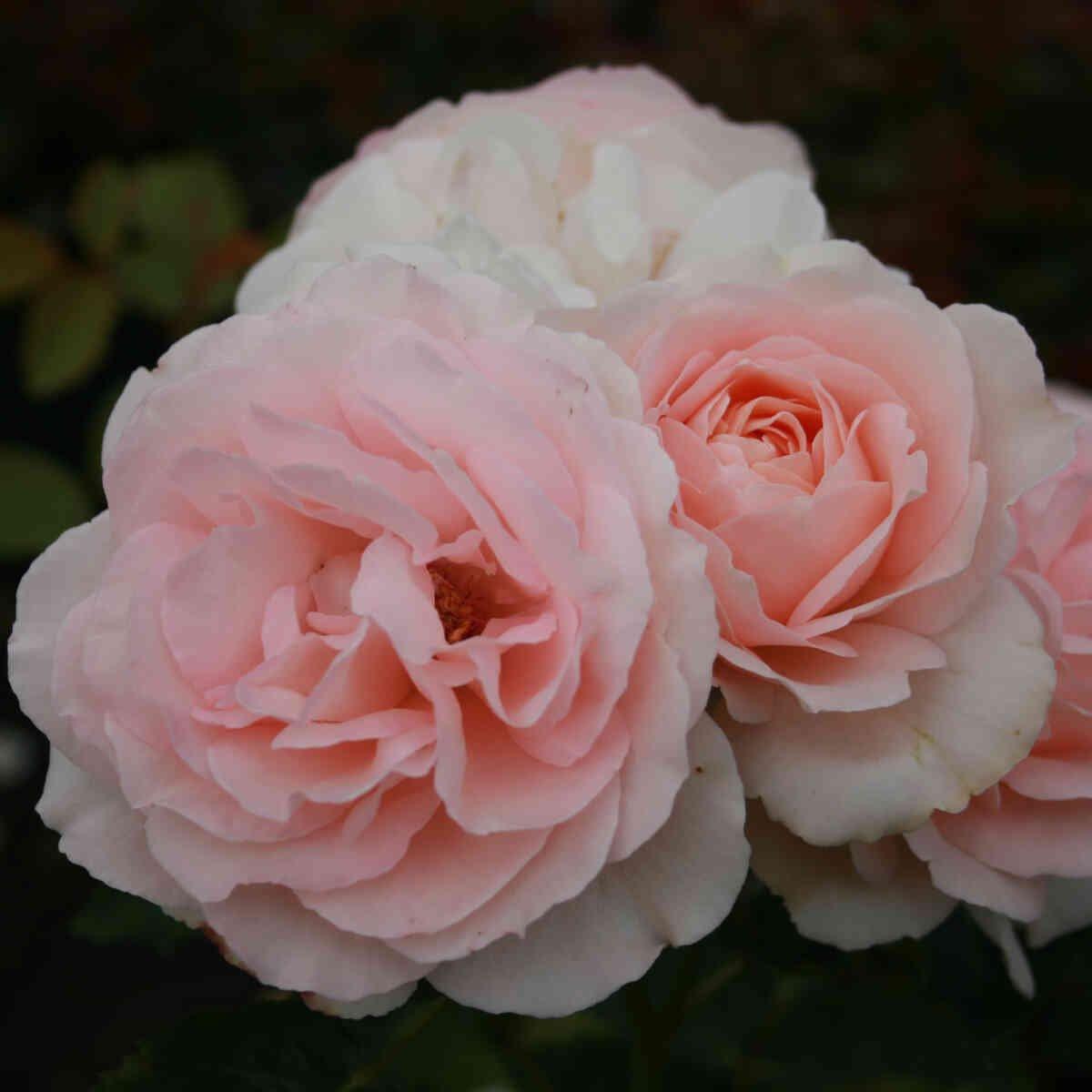 Clair renaissance i fuld blomst