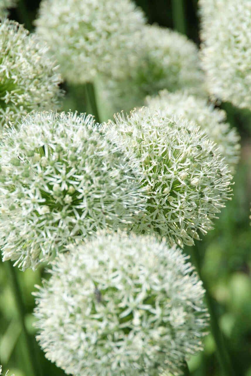 Prydløg - Allium  Stipitatum Mont Blanc (20/+)