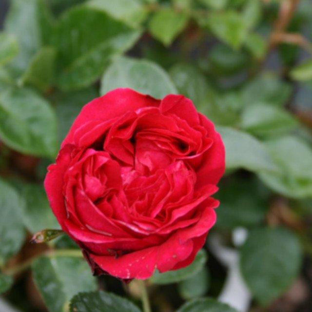 Slyngrose 'Red Eden Slyngrose'