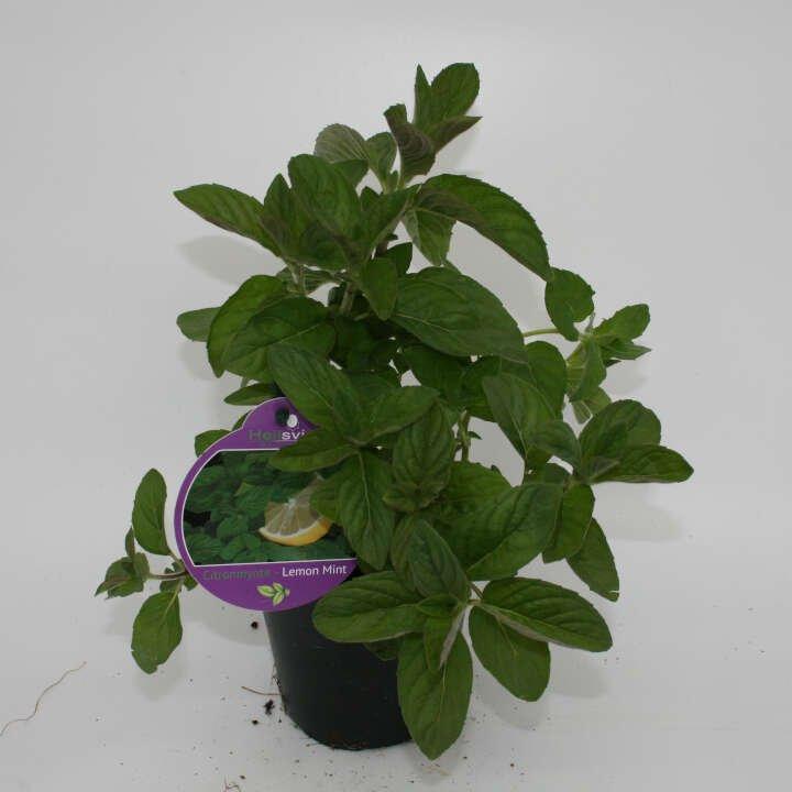 Citron mynte - Mentha  'Hilarys Sweet Lemon' - 10cm potte