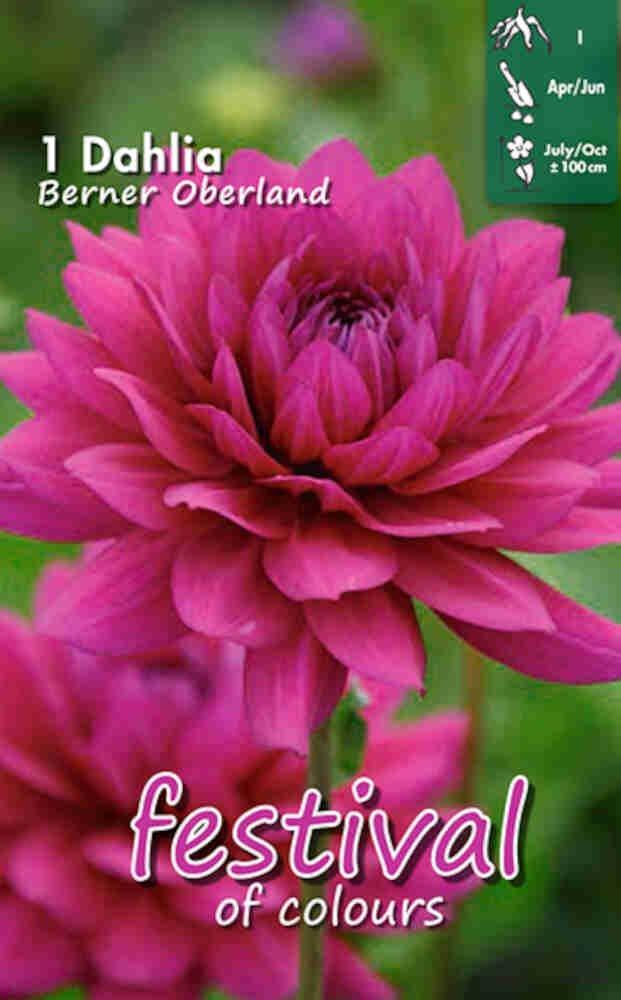 Dahlia 'Berner Oberland Decorative'