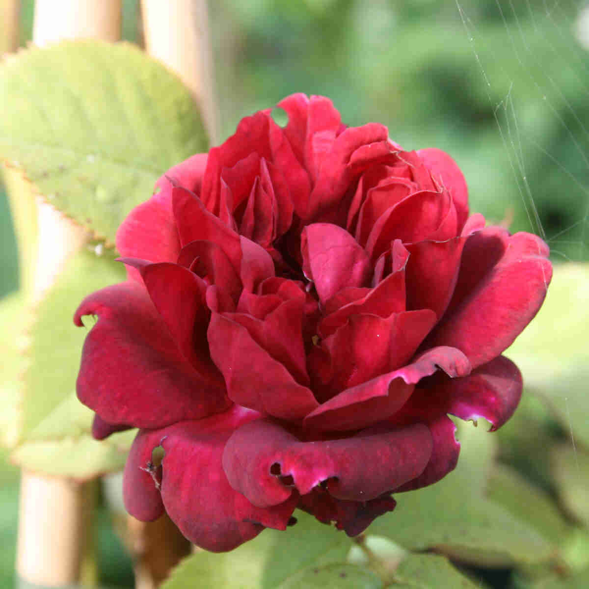 Rose 'Burgundy Ice'