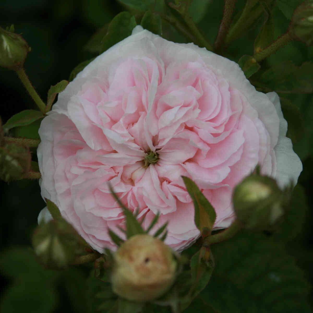 Rose alba 'Félicité Parmentier'