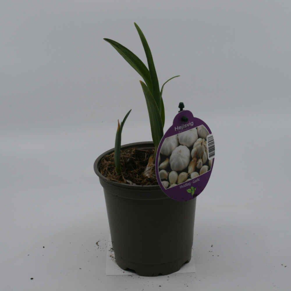 Hvidløg - Allium sativum - 10cm potte
