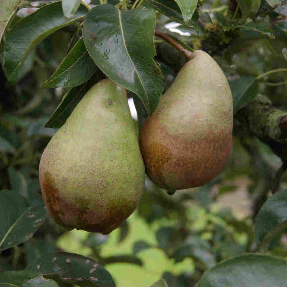 Pæretræ - Pyrus communis 'Pierre Cornielle'